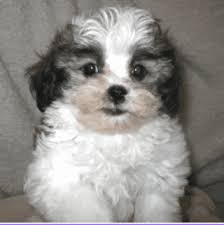 shi poo shih poo tlc puppy love