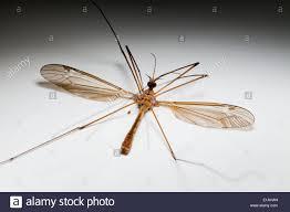 dead crane fly diptera tipulidae stock photo royalty free image