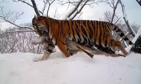unique images of siberian tiger cubs in russia s far east times