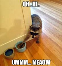 Raccoon Excellent Meme - raccoon cat funny animal meme picture humor funny time
