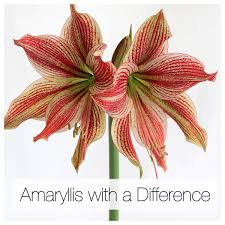 amaryllis flower amaryllis with a difference colors and flower styles