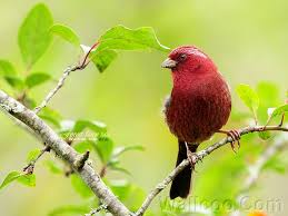 vinaceous rosefinch cabernet sauvignon plum tree wallpaper