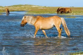 North Carolina wildlife tours images North carolina 39 s wild horses jpg