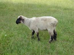 integrated parasite management premier1supplies sheep guide