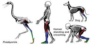 Diagram Of Knee Anatomy Um Hey Scientific American Bird Knees Bend The Same Way As