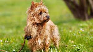 affenpinscher how much do they cost the 6 least expensive dog breeds to own