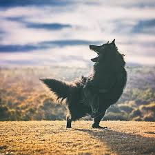 belgian sheepdog art 2017 belgian sheepdog calendars wolf shadow photography fine