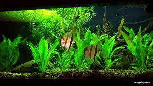 Tropical Aquatic Plants - south american blackwater biotope aquarium setup