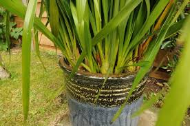 Cymbidium Orchid How To Repot Cymbidium Orchids A Step By Step Photographic