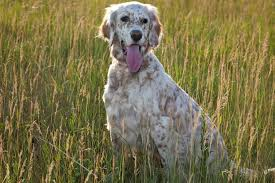 types of setter dog breeds english setter breed information pet 365