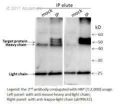heavy chain light chain rat monoclonal h139 52 1 anti mouse kappa light chain hrp review