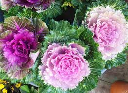 alan titchmarsh on the of ornamental cabbages and kales