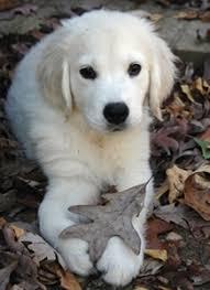 white golden retriever puppies nc u2013 dogs our friends photo blog