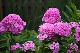 phlox flower phlox paniculata cullum butterfly gardens to go