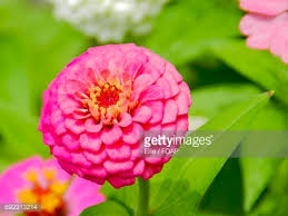 Zinnia Flowers Closeup Of Zinnia Flowers Stock Photo Getty Images