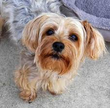 yorkie dog wallpapers android apps on google play
