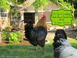 Chickens For Backyards by The Chicken 15 Tips To Control Rodents Around Chicken Coops