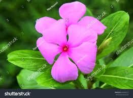 Vinca Flowers Vinca Flowers Pink Vinca Plant Pack Of 6 Photo Of Purple