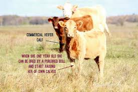 cattle where does your beef come from commercial