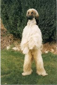 afghan hound lifespan afghan hound afghan hound my dog afghan hound pinterest