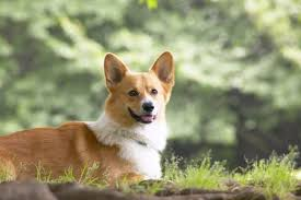 The Queens Corgis The Queen Adopts New Corgi She U0027fell In Love With U0027 During Regular