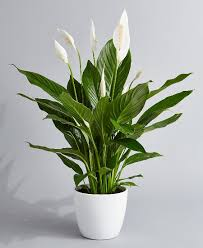 peace lilly peace plant in ceramic pot phulero dola ottawa florist