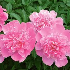 Peonies Bouquet Pink Peony Bouquet White Flower Farm