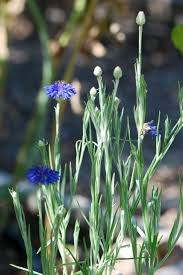 bachelor buttons seed of the week bachelor s buttons growing with science