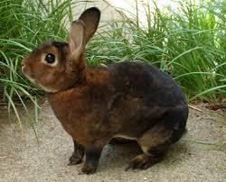 8 pet rabbit breeds pethelpful
