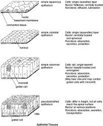 Anatomy And Physiology Cells And Tissues Epithelial Tissue