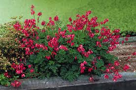 bleeding heart flower plant focus fern leaf bleeding heart michigan gardener