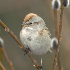 Sparrow by American Tree Sparrow National Geographic
