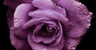 lavender roses roses