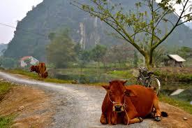 tam coc vietnam rice paddies and great landscape around visit it