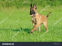 belgian shepherd nature malinois dog puppy belgian shepherd stock photo 103606127