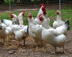 how to break a broody hen u2013 backyard chickens the garden prepper