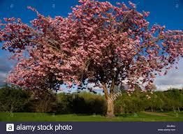 Flowering Cherry Shrub - flowering cherry tree in scottish park april prunus pink flowers
