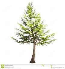 lebanon cedar tree isolated royalty free stock photography image