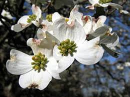 dogwood flowers cornus florida flower jpg