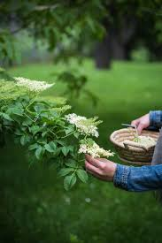 a travel report of denmark and recipe of fried elderflowers