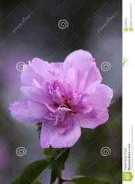 beautiful purple hibiscus flower stock photo image 85895705