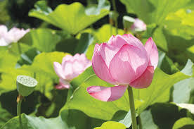 Lotus Flower Parts - sweet seeds of bliss