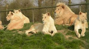 full information and facts about white lion