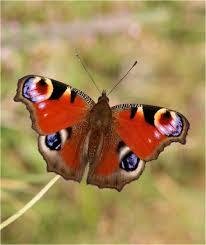 glasgow sw scotland butterflies you got any butterflies on