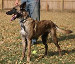 4 types of belgian sheepdogs border collie rescue of minnesota bcrmn