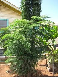 of china tree how to grow china doll plants outdoors caring for china doll