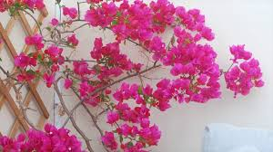 usage of bougainvillea in our daily life frameworks soil