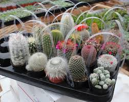 5 awesome cactus potted in a 2 5 plastic container all