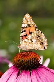 imagenes lindas naturaleza painted lady on an echinacea insect pinterest fotos lindas