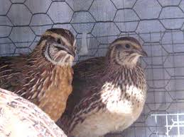 36 best breeding quail chickens and all things you need to know